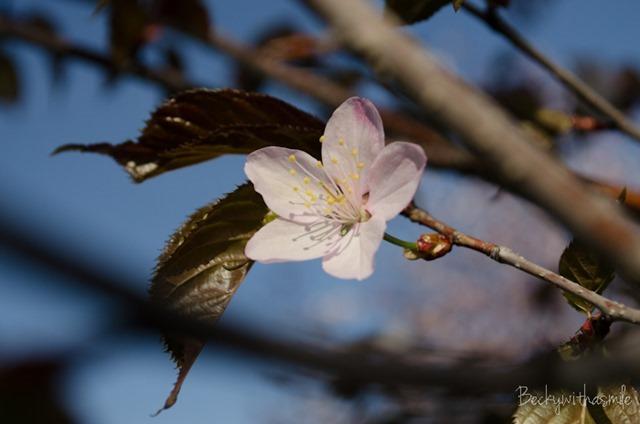 2013-05-26 Sakura 009