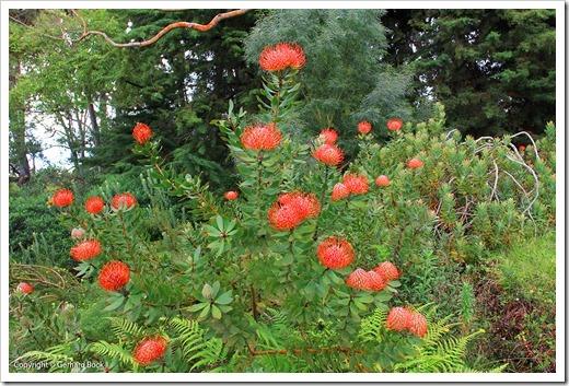 130715_KulaBotanicalGarden_Leucospermum-cordifolium_013