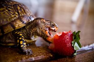 Черепаха и клубника