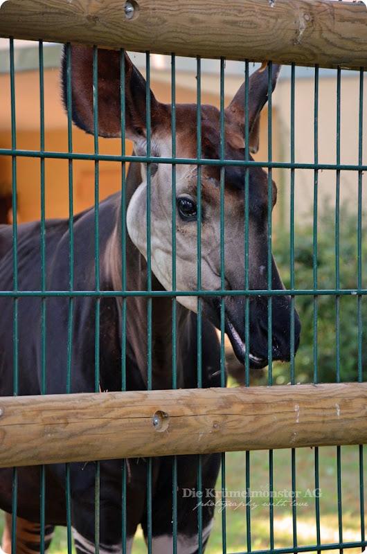 Zoo Frankfurt Okapi 150813