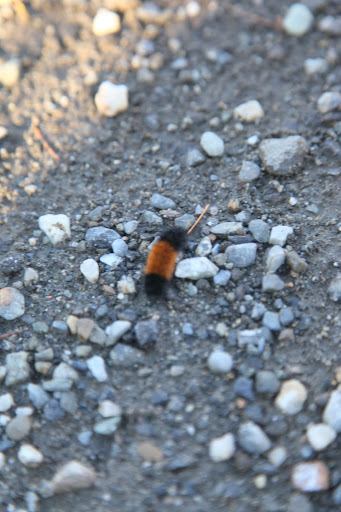I think I've stumbled upon a woolly bear caterpillar!