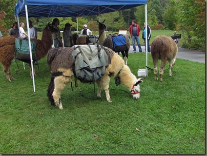 Llamas at The Cradle of Forestry