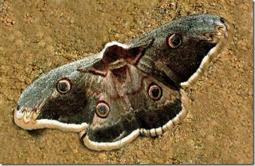 pavonsaturniidae1