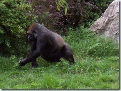 2004.08.25-019 gorille