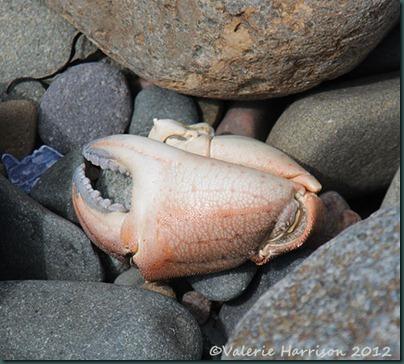 11-crab-claw