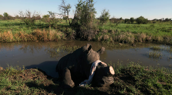 A white rhino after it was dehorned at the ranch of John Hume, a South African entrepreneur who now owns more than 800 rhinos, with names like Curly, Titan, Hillary, and Pinocchio, and has amassed a 2,000-pound mountain of horn worth millions of dollars. Joao Silva / The New York Times