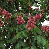 Aesculus x carnea (Marronnier rouge)