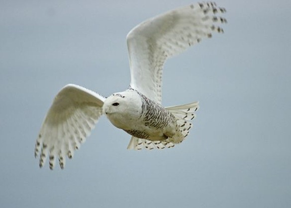 snowy-owl crossed-eyed