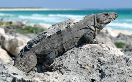 Black Spiny-tailed_Iguana