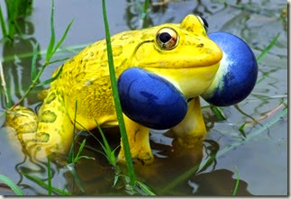 z indian bullfrog