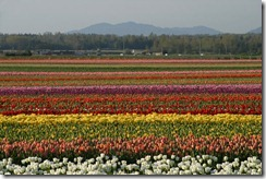 tuliptown3
