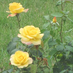 cape cod 6.12 yellow roses
