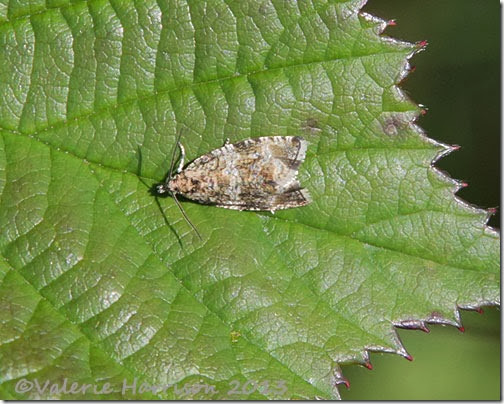 celypha-lacunana (2)