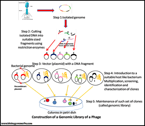 Genomic Library: Definition and Steps in the Construction of ...