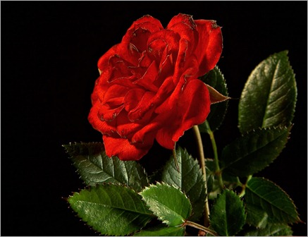 red-rose-flower-wallpaper-6