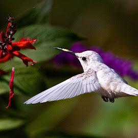 Leucistic Ruby-throated Hummingbird feeding by Dan Ferrin - Animals Birds ( bird, leucistic ruby-throated hummingbird, hummingbird, leucistic hummingbird, birds, hummingbirds, leucistic,  )