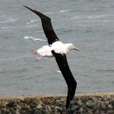 With Up To A 9 Foot Wingspan They Are Amazing Gliders - Otago Peninsula, New Zealand