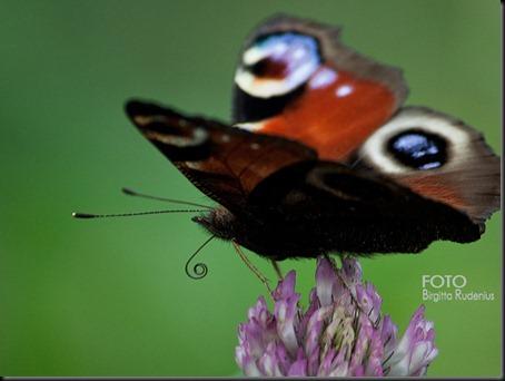butterfly_20110730_green