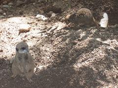 2009.05.16-034 suricates