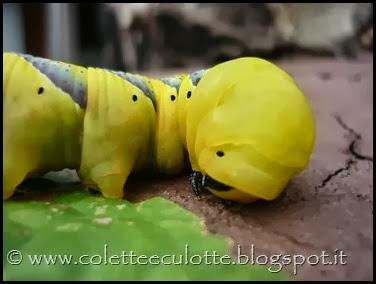 Larva di falena sfinge testa di morto (7)