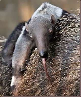 Amazing Animals Pictures Anteater (9)