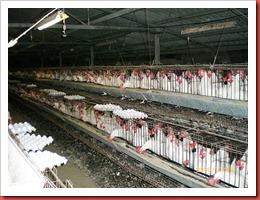 Industrial-Chicken-Coop-photo2345
