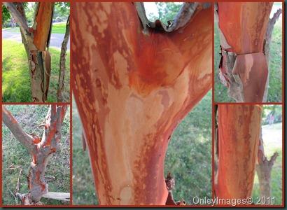 crepe myrtle shedding0711