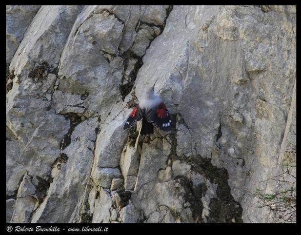13_Picchio muraiolo (35)c (Medium)