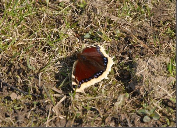 västärakki perhoset  sorsat 052