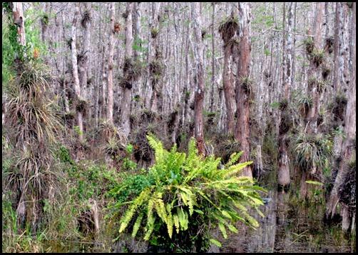 16d - Cypress Swamp Bromelaids