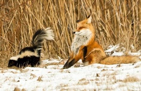 http://lh5.ggpht.com/-MI_BafYCybM/VOrfNO66nRI/AAAAAAAADKk/q2n_ohshLYs/skunk-fox_2178360k_thumb%25255B2%25255D.jpg?imgmax=800
