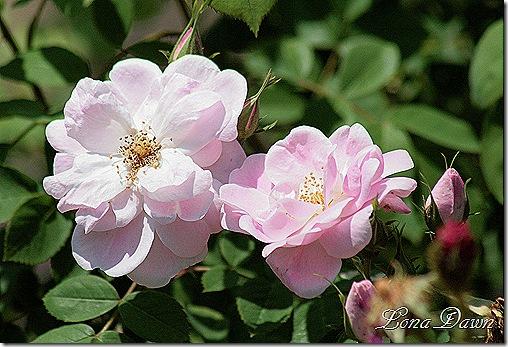 Adena_Roses3