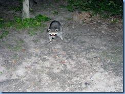 7454 Restoule Provincial Park - evening fire four raccoons come to visit