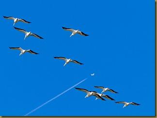 LSU White Pelicans