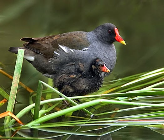Amazing Pictures of Animals, Photo, Nature, Incredibel, Funny, Zoo, Common Moorhen, Gallinula chloropus, Aves, Alex (9)