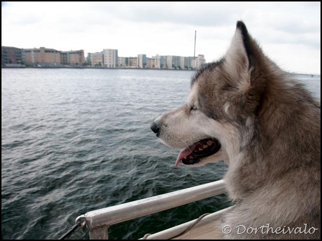 skibshund