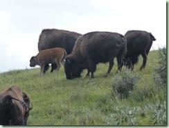 Buffalo Pound