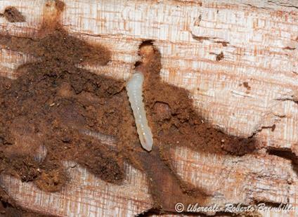 9-2014-02-20_larva Aegosoma scabricorne_Varenna (84)