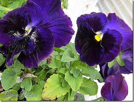 Pansy_Purple