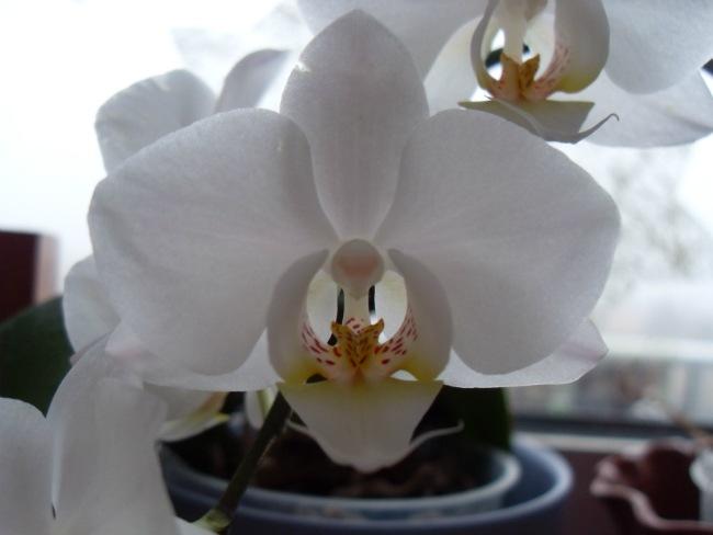 Orcideerne blomstrer - februar 2012