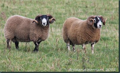49-sheep