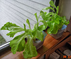 9.5 week summer crisp lettuce in 3-cup splashers, hydroton 09 22