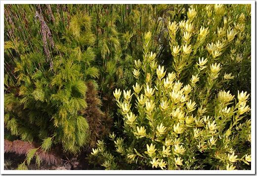 120211_UCSC_Arboretum_Leucadendron-laureolum- -Rhodocoma-capensis_02