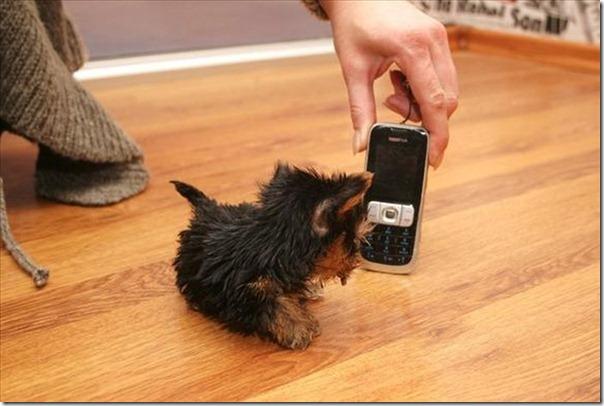 Terrier Meysi (11)