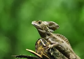 Amazing Pictures of Animals, Photo, Nature, Incredibel, Funny, Zoo, Common basilisk, Basiliscus basiliscus, Reptil, Alex (11)