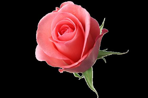botao-rosa-rosa