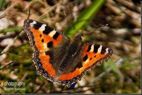 butterfly_20120407