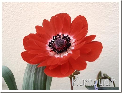 anemona 1