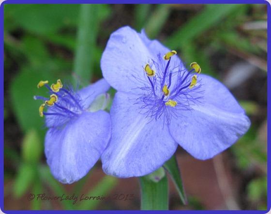 08-26-spiderwort