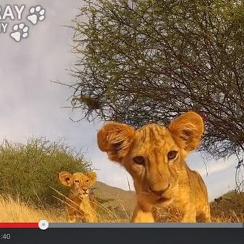 Λιονταράκια παίζουν με τη κάμερα